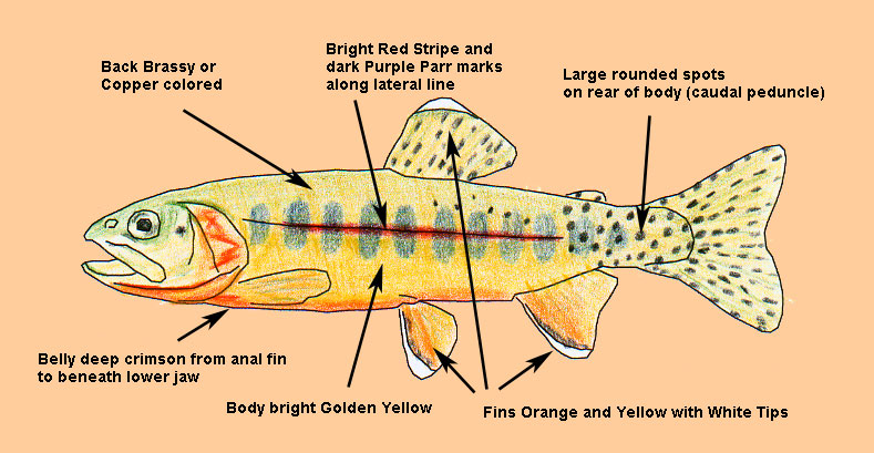 Volcano Golden Trout